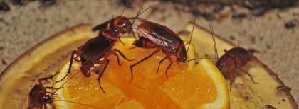 Kodėl tarakonai išlenda naktį?